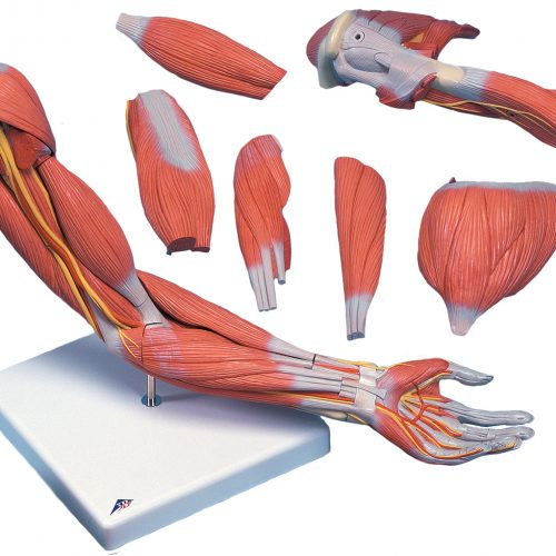 Arm with Removable Muscles