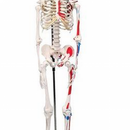Human Skeleton with painted muscles