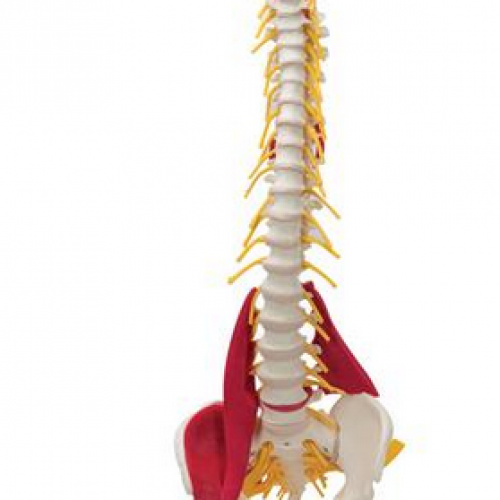 Muscled Spine Model